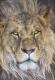 Фотообои Komar Lion 1-619 (127x184) -