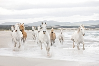 Фотообои Komar White Horses 8-986 (368x254) -