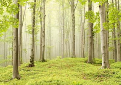Фотообои Твоя планета Люкс Весенний лес (291x204)