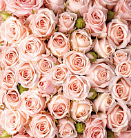 Фотообои листовые Твоя планета Розы (194x204) -