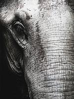 Картина Orlix Слон 2 / CA-12497 -