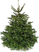 Ель живая HD Nordic Trees Nordmann Датская Премиум (1-1.2м, срезанная) -