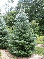 Ель живая HD Nordic Trees Nordmann Датская Премиум (3.5-4.0м, срезанная) -