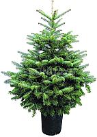 Ель живая HD Nordic Trees Nordmann Датская Премиум (0.6-0.8м, в горшке) -
