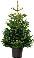 Ель живая HD Nordic Trees Nordmann Датская Премиум (1-1.2м, в горшке) -