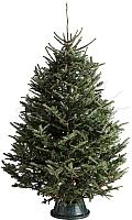Ель живая HD Nordic Trees Фразера Датская Премиум (1.2-1.5м, срезанная) -