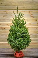 Ель живая HD Nordic Trees Фразера Датская Премиум (1.5-1.7м, срезанная) -
