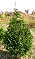 Ель живая HD Nordic Trees Abies Датская (1.2-1.5м, срезанная) -