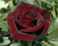 Саженец Zelensad Роза чайно-гибридная Черная магия -