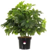 Искусственное растение GrenTrade Шефлера Веерон Dos / 12146 -