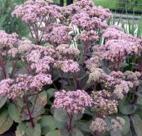 Семена цветов Красный клен Очиток видный Matrona -